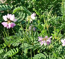 A Pretty Find-Crown Vetch by Bea Godbee