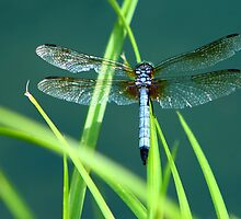 Blue Dasher by Lisa G. Putman