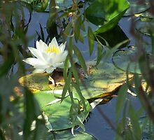 Peek-a-Lilly by Crystal Lee Kirkham