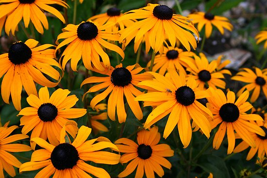 Black Eyed Susans by kkphoto1