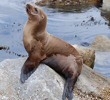 Sea Lion Sunning by Janderson63