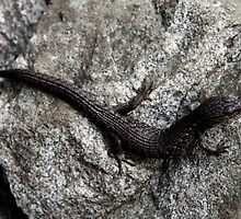 Northern Alligator Lizard by Wolf Read