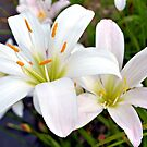 White Madonna Lilies by ©Dawne M. Dunton