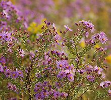 Highland Asters by sundawg7