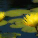 Lemon Lotus Flowers by sundawg7