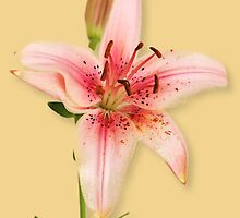 Day Lily Series by Paul Lindenberg