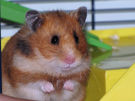 The Hamster by Sharon Perrett