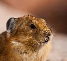 Pika Portrait by Jay Ryser