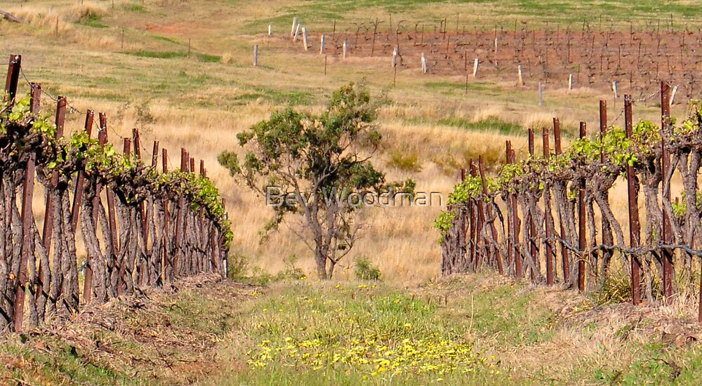 Pokolbin Vineyards - NSW Australia by Bev Woodman