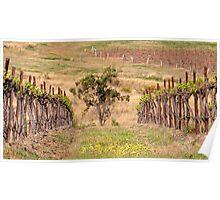 Pokolbin Vineyards - NSW Australia Poster
