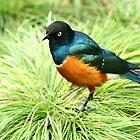 Rainbow bird by redscorpion