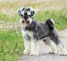 minature schnauzer by wendywoo1972