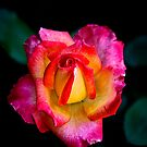 Mon Cheri Mini Rose by David DeWitt