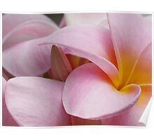 Plumeria bud and bloom. Poster