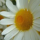 Daisy by DIANE  FIFIELD