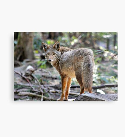 Coyote, Washington state Metal Print
