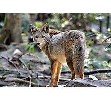 Coyote, Washington state Photographic Print