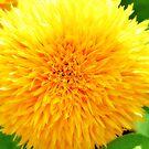 Teddy Bear Sunflower by ©Dawne M. Dunton