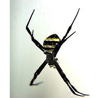 Argiope Keyserlingi - St Andrews Cross Spider Photographic Print