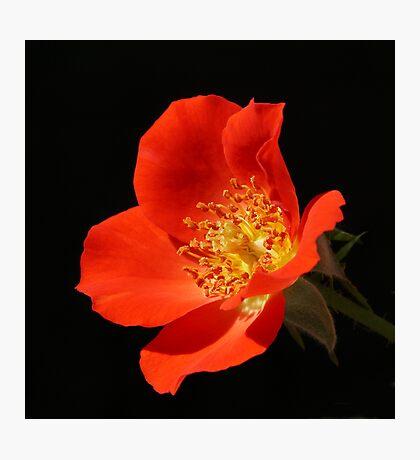 Gizmo Mini Rose Photographic Print