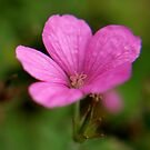 lone pink flower by stellaozza