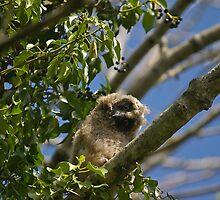 Long-eared Owl by Jon Lees