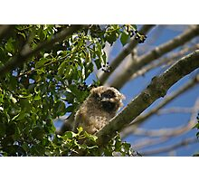 Long-eared Owl Photographic Print