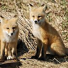 Red Fox Siblings by Ron Kube