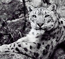 Elegant Snow leopard by Emelie-Laggar