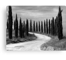 Cypress Trees, Sienna, Italy Canvas Print