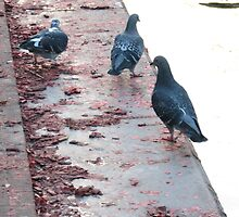 pigeons by mgray
