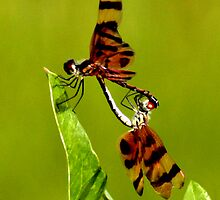 DRAGONFLIES  by TomBaumker