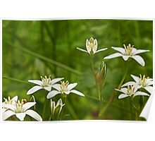 Star Of Bethlehem Wildflower - Grass Lily - Ornithogalum umbellatum Poster