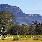 Sheep grazing near the Grampians  by Darren Stones