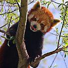 Red Panda by HelenBeresford