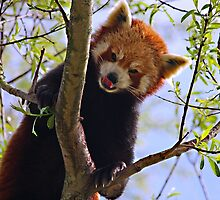 Red Panda by HelenBeresford