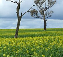 Spring Canola and Trees by SharonD