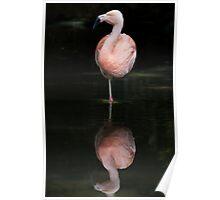 Greater Flamingo • Adelaide • South Australia  Poster