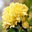 Lady Banks Rose by ©Dawne M. Dunton