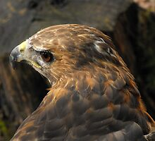 Red Tailed Hawk - Charlie by natassiabailey