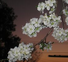 Blossoms by Mian