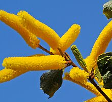Acacia denticulosa by Christopher Clarke