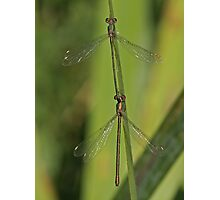 2 Willow Emeralds Photographic Print
