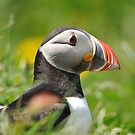 Puffin profile by Angela1
