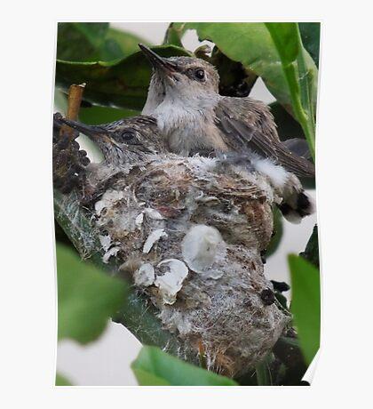 Baby Hummingbirds..... Poster