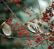 """""""  Waxwings  """" by fortner"""