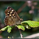 Speckled wood butterfly by Shaun Whiteman