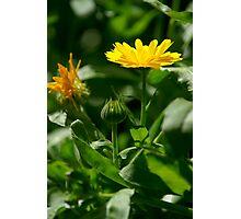English Marigold Photographic Print