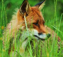 foxy lady by Alan Mattison