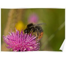 Red-shanked carder Bee  Poster